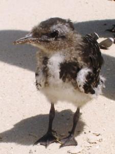 Sooty Turn Chick Michaelmas Cay