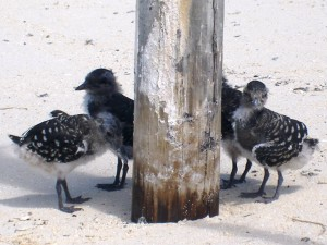 Sooty Turn Chicks Michaelmas Cay