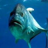 Passions World famous Fish Feed – Meet the Giant Trevally (GT)