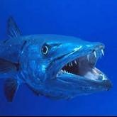 Your Friendly Neighbourhood Barracuda
