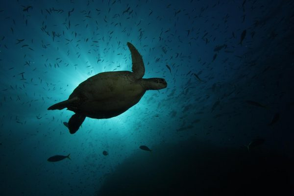 turtle swimming on great barrier reef eco tourism cairns passions of paradise