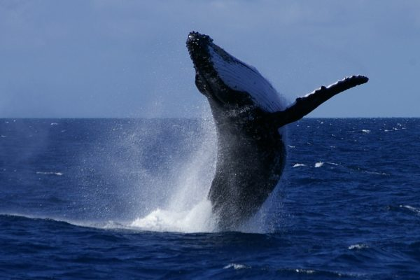 humpback-whale-breaching-passions-of-paradise