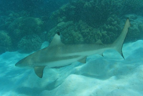 blacktip reef shark cairns reef tour passions of paradise